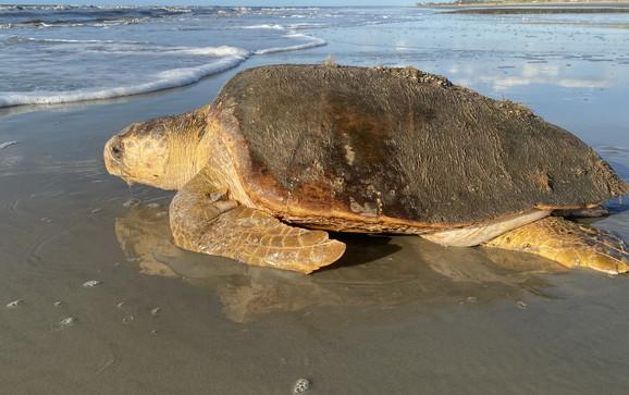 Loggerhead returns to ocean after nesting (Mark Dodd/DNR)