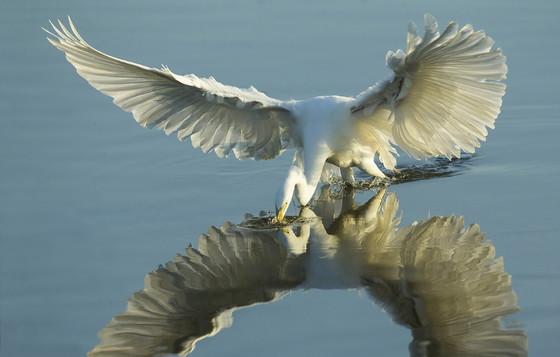Great egret foraging at Altamaha WMA (Ty Ivey/Georgia Nature Photographers Association)