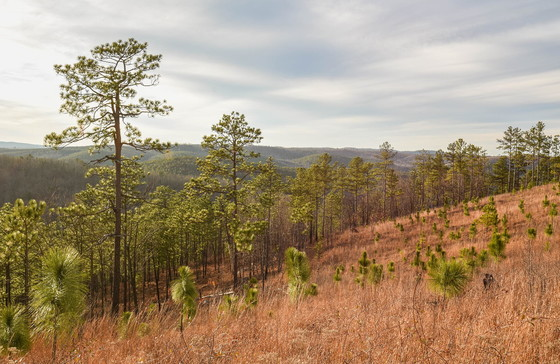Restoring montane longleaf pine at Sprewell Bluff WMA (Hal Massie/DNR)