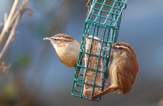 Carolina wrens feeding on suet (Terry W. Johnson)