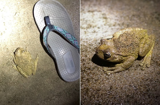 Kingland resident Laura Stevenson photographed this Cuban treefrog in her driveway last month. (Special to DNR)
