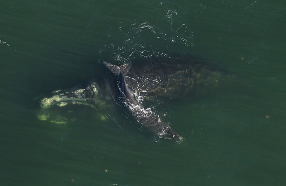 Right whale mother with her injured calf in January (FWC/NOAA permit 18786-04)