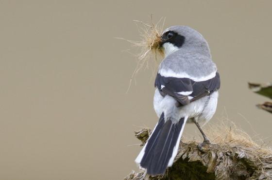 Loggerhead shrike with nesting material (Ty Ivey/Georgia Nature Photographers Association)