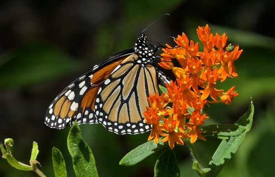 Monarch butterfly (Linda May/DNR)