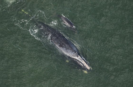 """""""Chiminea"""" and her calf off Cumberland Island this month (Clearwater Marine Aquarium/NOAA permit 20556-01)"""