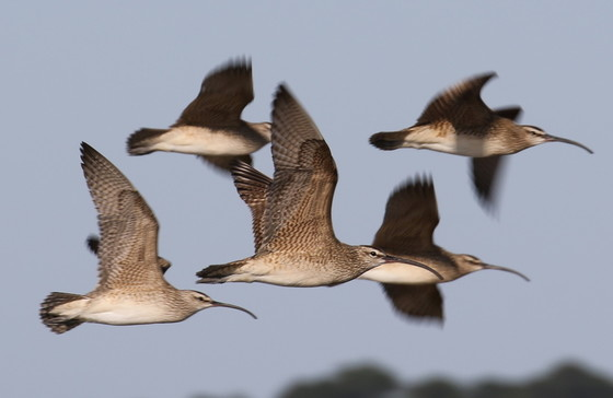 Whimbrels on the wing (Tim Keyes/DNR)