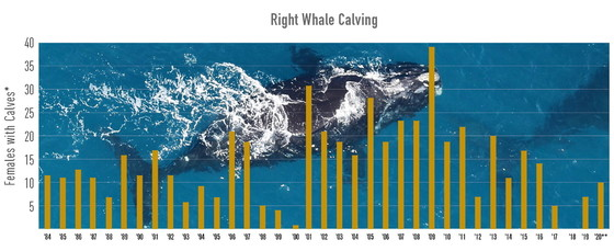 Right whale calving chart