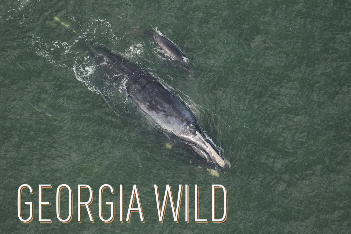 Georgia Wild masthead: right whale and calf (Clearwater Marine Aquarium/NOAA permit 20556-01)
