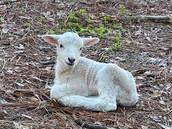 Lamb at General Coffee State Park