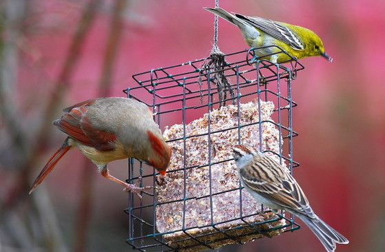 Birds at a suet feeder (Terry W. Johnson)