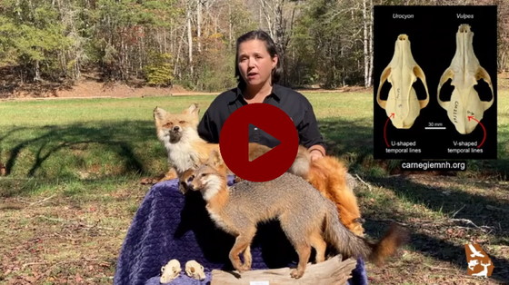 Gray fox video profile (DNR)