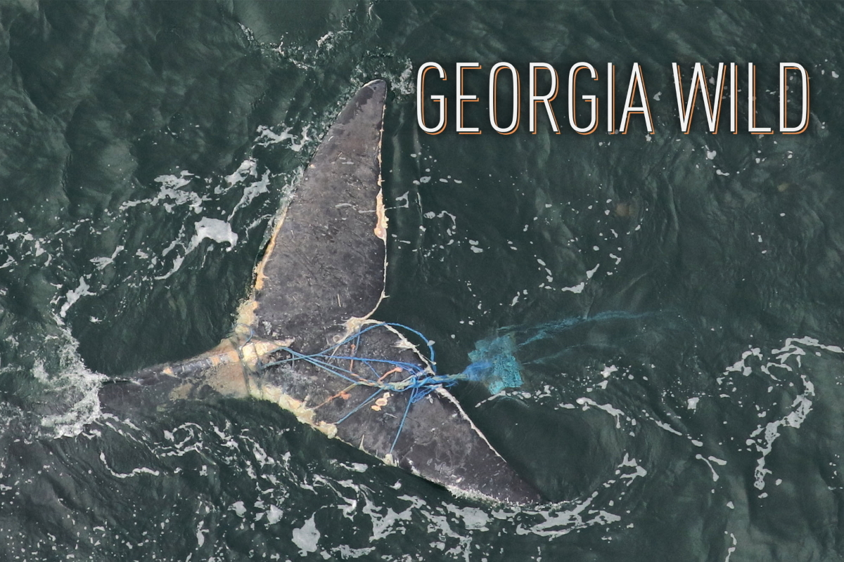 Georgia Wild masthead: whale tale entangled in fishing rope (Clearwater Marine Aquarium Research Institute/NOAA permit 18786)