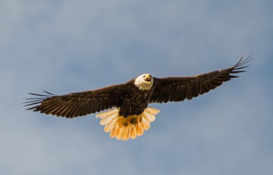 Bald eagle (Ron Golfarb)
