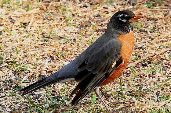 American robin (Terry W. Johnson)