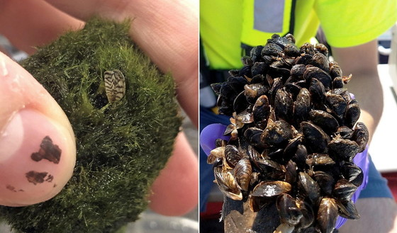 Zebra mussels, from moss ball to multiplied (USGS; right photo by John Byrnes/USGS)