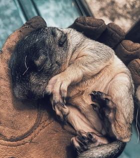 Fox squirrel pup (Kennedy Glanton/DNR)