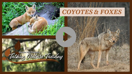 Talking Nature Tuesday: Foxes and Coyotes