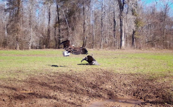 Golden eagle attacks a wild turkey in Burke County (special to DNR)