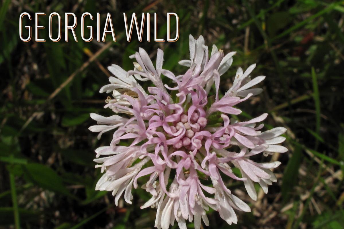 Georgia Wild masthead: Coosa (or Mohr's) Barbara's buttons