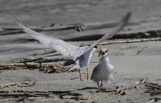 Least tern feeding chick (Tim Keyes/DNR)