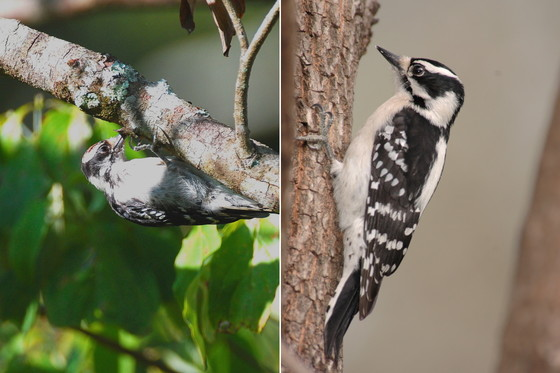Downy woodpeckers foraging (left, Terry W. Johnson; right, Todd Schneider/DNR)