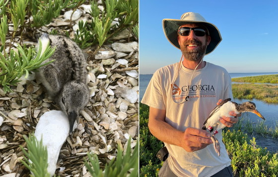 An American oystercatcher chick, left, and an older one banded last month (left, Tim Keyes/DNR; right, Abby Sterling/Manomet)