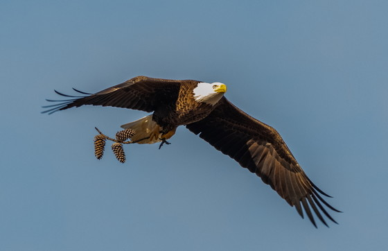 Bald eagle carrying nesting material (Jenny Burdette Photography/GNPA)