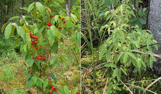 Pondberry fruits in the fall (left) and now (left, John Jensen/DNR; right, Stephanie Koontz/DNR)