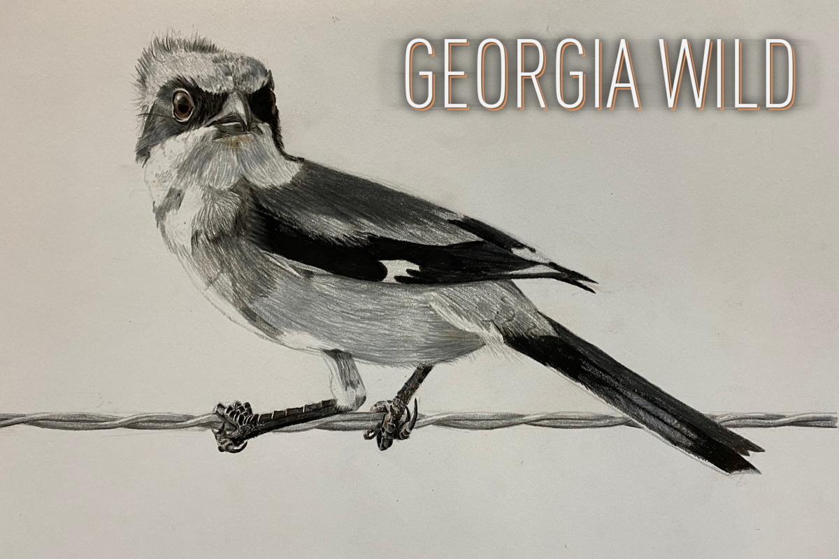 Georgia Wild masthead: grand champion YBC artwork