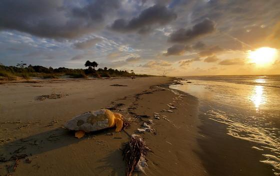 Loggerhead returns to the ocean after nesting on Ossabaw (Breanna Sorg/DNR)