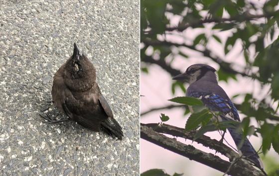 Fledgling starling with crusty eyelids (left); a healthy adult blue jay (Leslie Frattaroli/NPS; Todd Schneider/DNR)