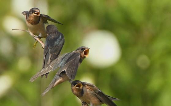 Fledgling barn swallows at Dyar Pasture (Josiah Lavender/DNR)
