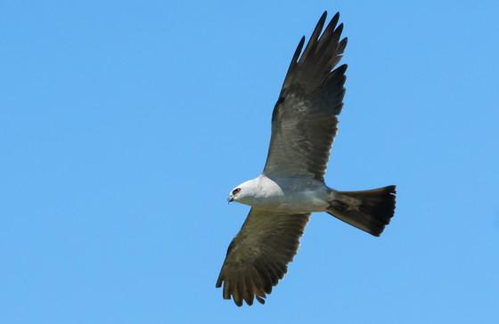 Mississippi kite (Tom Wilson/GNPA)