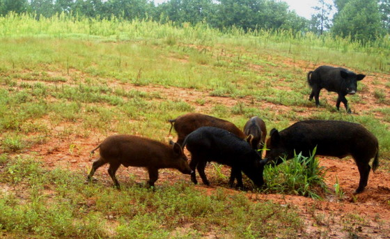 A game cam image of feral hogs doing what they do best: rooting.