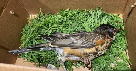 Fledgling American robin that died of the illness in Pennsylvania_Tamarack Wildlife Center
