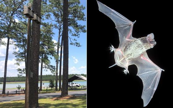 Bat house in Paradise; right, Brazilian free-tailed bat (Katrina Morris/DNR; J. Scott Altenbach)