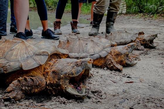 Suwanee alligator snapping turtles (Dirk Stevenson/Altamaha Environmental Consulting)