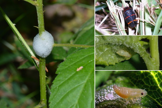 Spittlebugs (L-R, clockwise): spittle home, froghopper adult, nymphs (Terry Johnson, Clint Waltz/UGA, University of Minn. Extension)