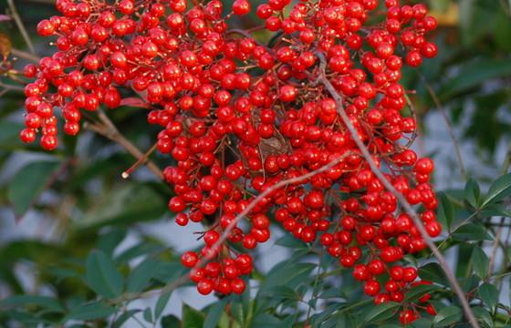 Nandina berries. (Terry W. Johnson)