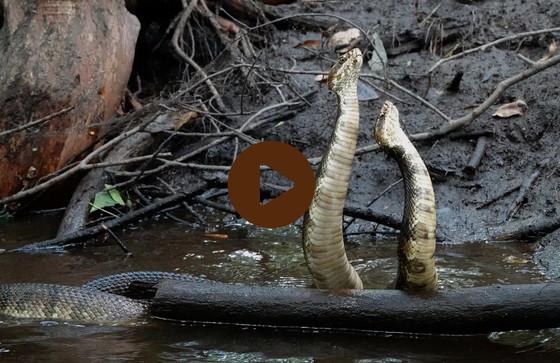 Male cottonmouths fighting in Bulloch County creek (Matthew Moore/DNR)