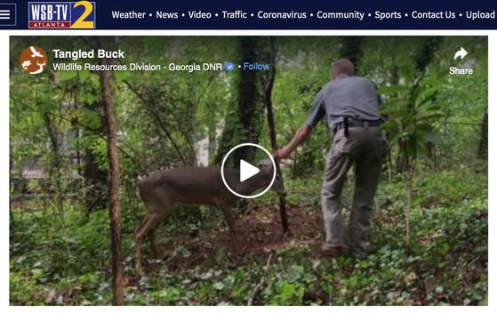 WSB-TV runs video of Urban Wildlife Program staff freeing buck