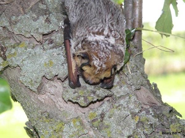 Hoary Bat on Tree