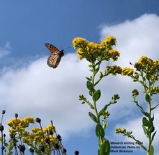Monarch flying into a sunflower