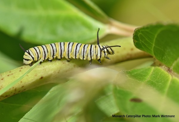 Closeup of a Monarch Caterpillar