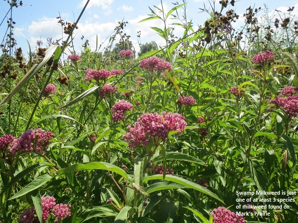 Swamp Milkweed in Mark's Prairie