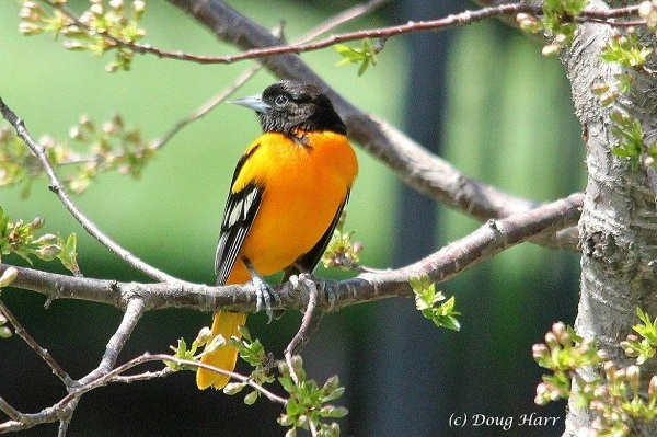 Baltimore Oriole perched in a tree