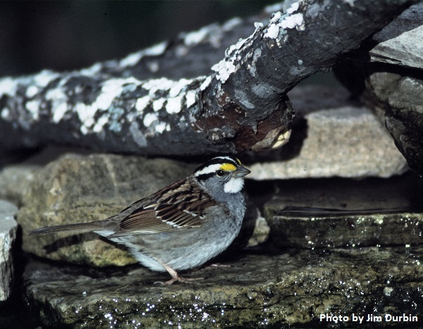 White-throated Sparrow standing in shallow water