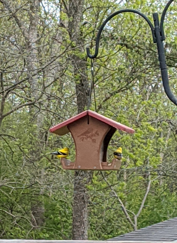Goldfinches at feeder in late spring
