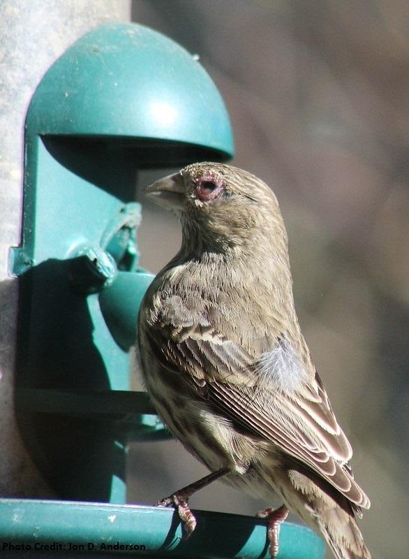 House finch swollen eye at feeder