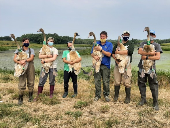 DNR Staff with their arms full of swans